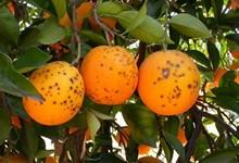 NaranjasMini