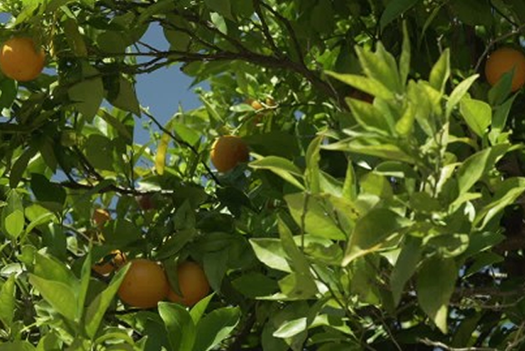 citricos2grande