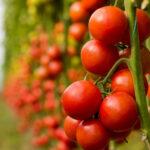 Clara Aguilera reclama a la Comisión Europea que revise el sistema de precios de entrada de tomate marroquí en la UE
